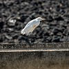 Airone guardabuoi